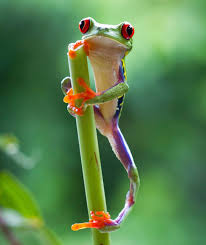 eyed tree frog the eyed tree frog takes a rest in the