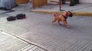 boxer dog utah bóxer dog weight pull zeux gold line kennels youtube
