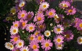 wallpapers daisys daisy 1280x720 472167 daisys
