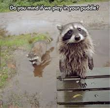 Racoon Meme - must see funny raccoon pictures animals pinterest funny