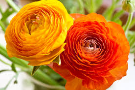 ranunculus flower ranunculus seeds www sakitaflowerseeds