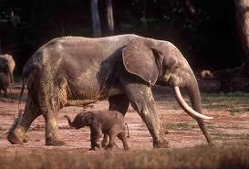 forest savanna elephants africa separate species