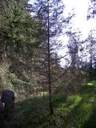rocky mountain juniper juniperus scopulorum plants pnw