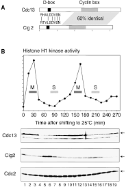 the spike of s phase cyclin cig2 expression at the g1 u2013s border in