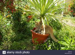 Cateracterum Palm by Cat Palm Stock Photos U0026 Cat Palm Stock Images Alamy