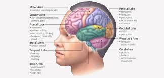 Role Of Brain Stem Human Brain Structure And Their Functions In Human Body