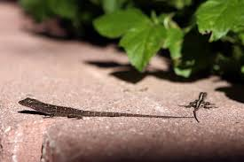 brown anole lizards migrate to texas