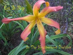 reblooming daylilies let it rip daylily j joiner daylily reblooming daylilies award