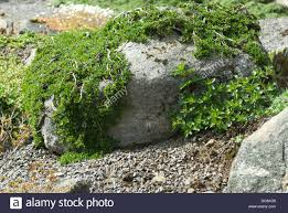 Small Rocks For Garden A Cotoneaster Like Plant Hugging The Contours Of Small Rocks In A