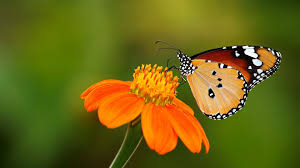 butterfly insect on orange flowers wallpaper hd desktop background