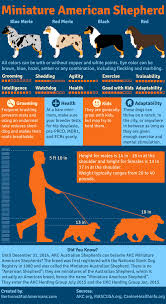 mini australian shepherd 4 months australian shepherd smart working dog miniature american