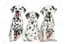 dalmatian puppies sitting isolated white stock photo