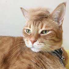 Make Your Own Cat Meme - 34 best donald trump cat meme images on pinterest cats donald o