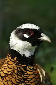 158 best reeve u0027s pheasants images on pinterest pheasant