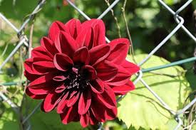Dark Red Flower - dark red flower free pictures on pixabay
