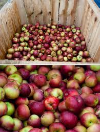 apple picking in nyc u2013 new york ny u2013 findling u0027s finds