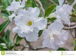 white desert flower adenium obesum stock photo image 46780355