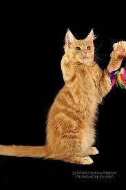 telecharger papier peint bureau gratuit maine coon chats de papier peint maine coon fonds d écran 7348085