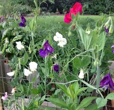 bloom thyme friday sweet peas u2013 the garden diary