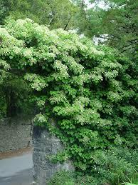 climbing hydrangea garden housecalls
