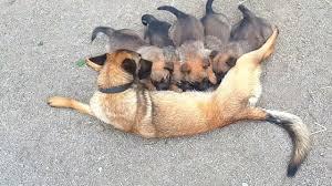 belgian sheepdog german shepherd mix german shepherd and belgian shepherd puppies youtube