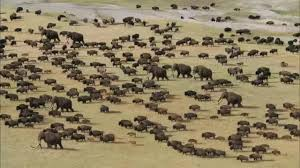herd bison woolly mammoth roam mammoth steppe