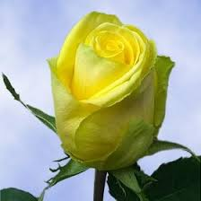 global roses 84 best roses images on white roses yellow roses and