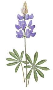 Bluebonnet Flowers - bluebonnet flower flower facts compliments of flower blog
