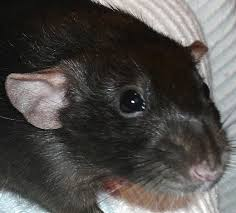 rats types colors patterns pethelpful