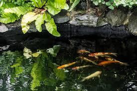 koi pond basics 101 u2013 what you need to know