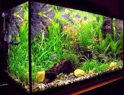 freshwater aquariums ornamental aquarium fish