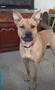 american pitbull terrier 1 a german shepherd pitbull mix u2013 breed info characteristics and