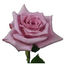 lavender roses bird lavender