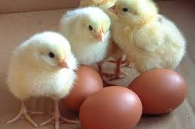 tojás csibe