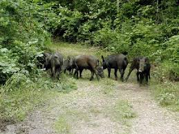 Tennessee wildlife images Tennessee wildlife officials to address hog hunting restrictions jpg