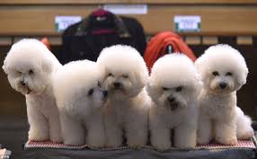 bichon frise uae crufts 2016 gets under way with a special stand to u0027meet and greet