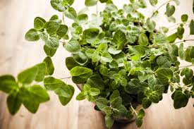 best herbs to grow indoors which one have you chosen