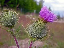 spear thistle cirsium vulgare flowers naturegate