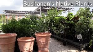 native houston plants buchanan u0027s native plants in the heights youtube