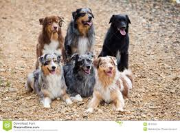 2 australian shepherds six australian shepherd dogs royalty free stock photo image
