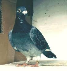 cuisine des pigeons voyageurs les pigeons de jo photos de pigeons