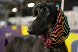 afghan hound national dog show dogs take the stage at the 138th westminster kennel club dog show