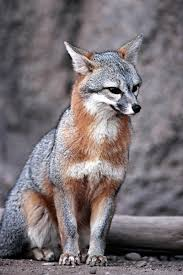 Delaware travel fox images State animals state mammals birds and reptiles jpg