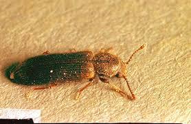 Powder Post Beetles In Hardwood Floors - wood infesting pests beetle pacific northwest pest management
