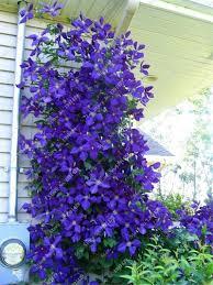 2 true clematis bulbs not seeds bonsai flower bulbs outdoor