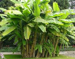 bananas on tree growing your own banana tree or banana plant hubpages