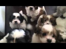 american eskimo dog poodle mix shih tzu maltipoo american eskimo mix puppies youtube