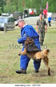 belgian malinois k9 attack police k9 malinois dog in stock photos u0026 police k9 malinois dog in