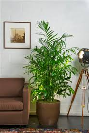 plants at home surprising best place to keep bamboo plant in house 25 palm ideas