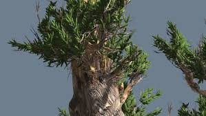 bristlecone pine thick tree is swaying at the wind tree cut out